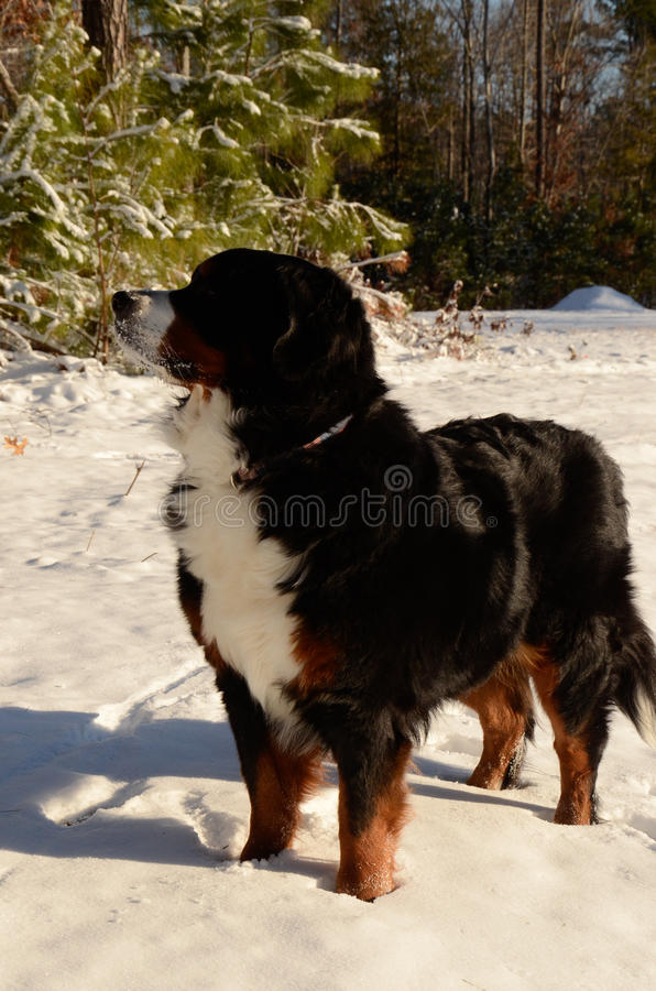 伯尔尼的山狗 库存图片