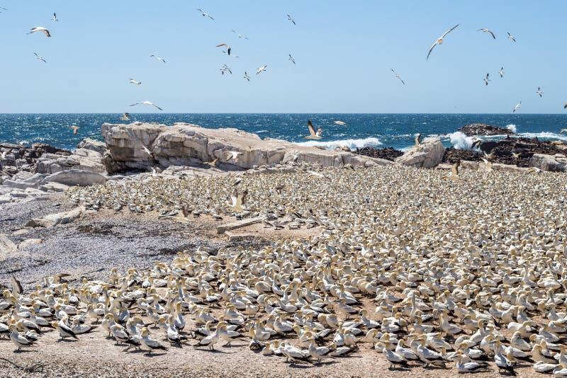 伯德岛自然保护在与鸟群的朗伯的海湾西海岸南非在多岩石的海滩的在海洋旁边 免版税库存照片