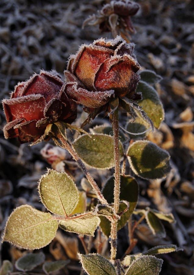 伯根地上升了,茴香,宏观花花,黑暗的背景,平衡光 库存图片