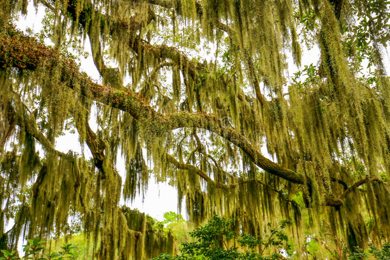 伸出与寄生藤的树在南部的美国 库存照片