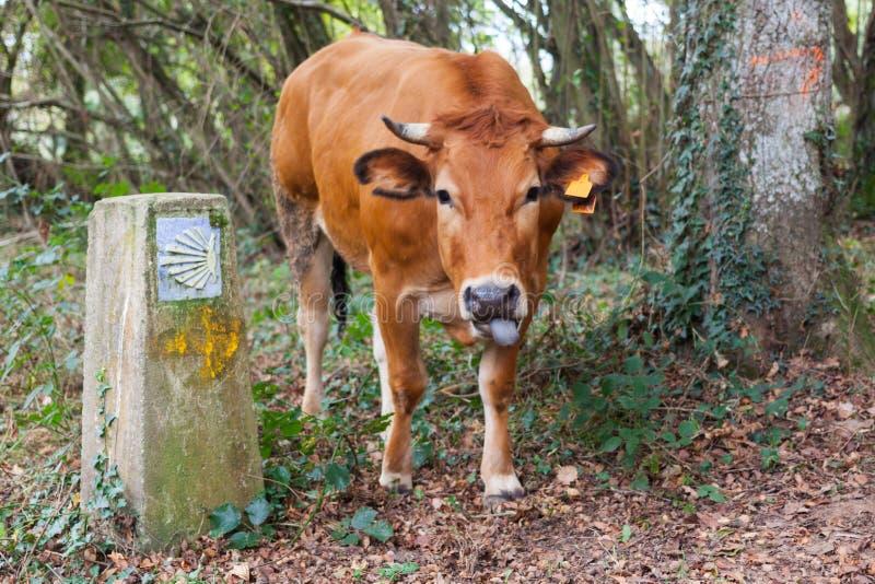 伸出它的舌头的滑稽的棕色母牛在圣詹姆斯壳标志附近Camino de圣地亚哥方式  免版税库存照片