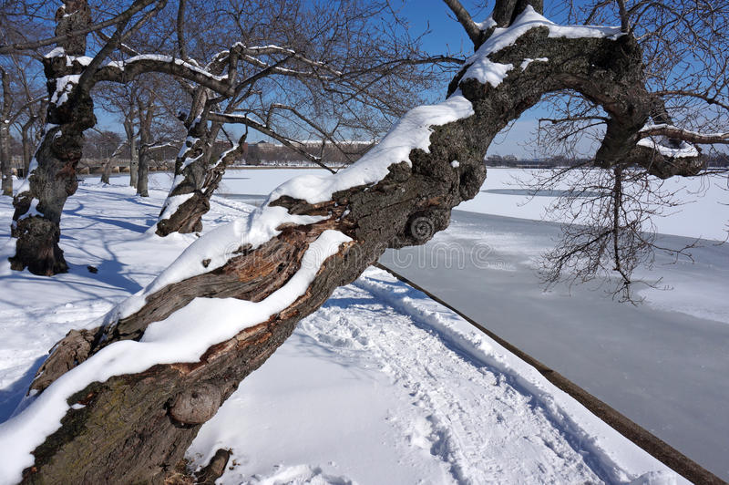 伸出的樱花树在冬天 库存图片
