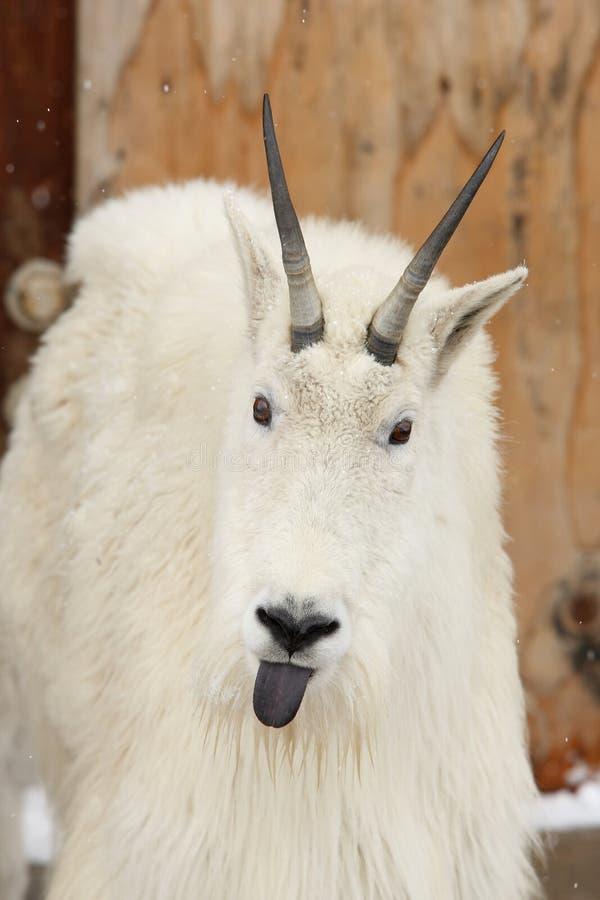 伸出舌头的山羊山 免版税库存照片
