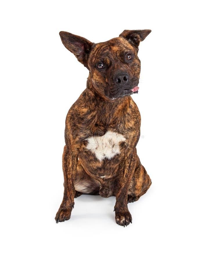 伸出舌头的滑稽的美洲叭喇杂种狗  免版税库存照片