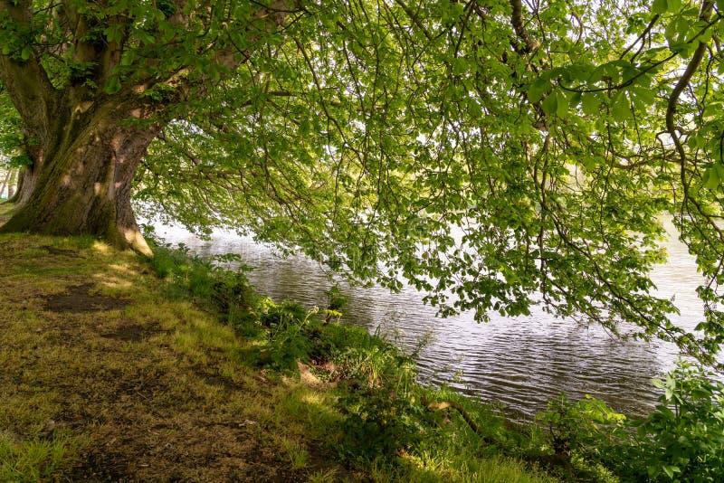 伸出twickenham的欧洲七叶树树泰晤士河 免版税库存照片
