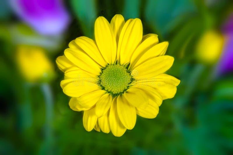 类似在绿色背景的黄色花图象一朵雏菊 库存图片