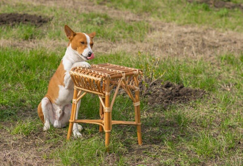 似犬休息在庭院里 库存照片