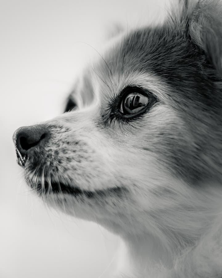 似犬勇气和尊严 图库摄影