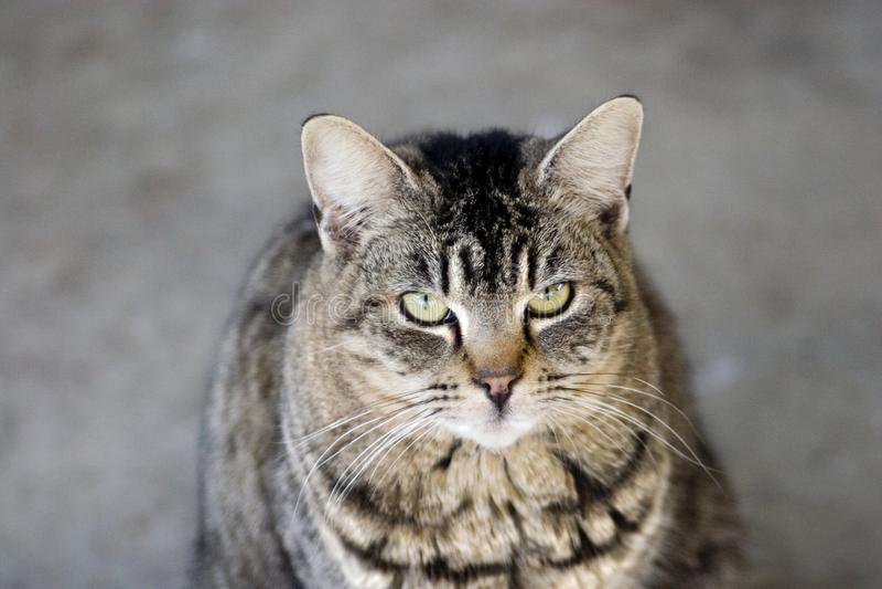 似猫的纵向 免版税库存照片