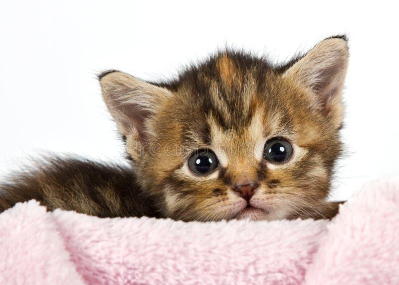 位于与他的在一条桃红色毯子的题头的小猫 库存照片