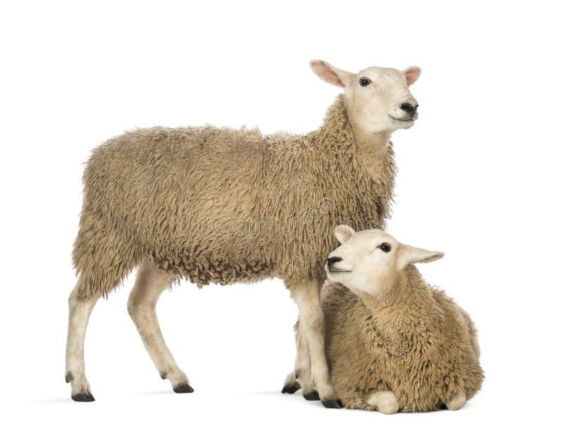 位于在另一个身分前面的绵羊 免版税图库摄影