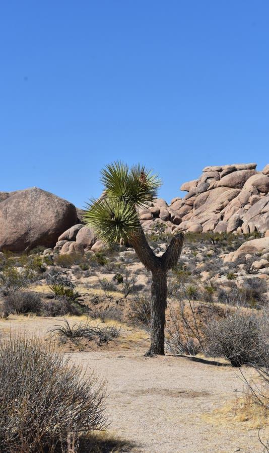位于莫哈维沙漠的唯一约书亚树 免版税图库摄影