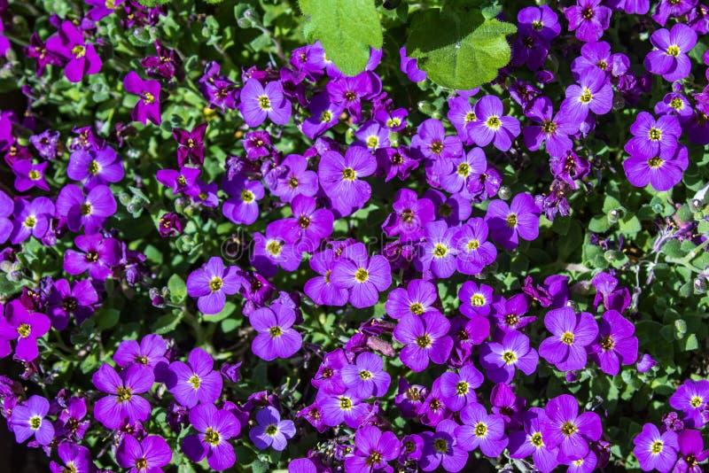 低传播有多朵密集的小紫罗兰色花的Aubretia或Aubrieta强壮的常青四季不断的开花植物与黄色 图库摄影