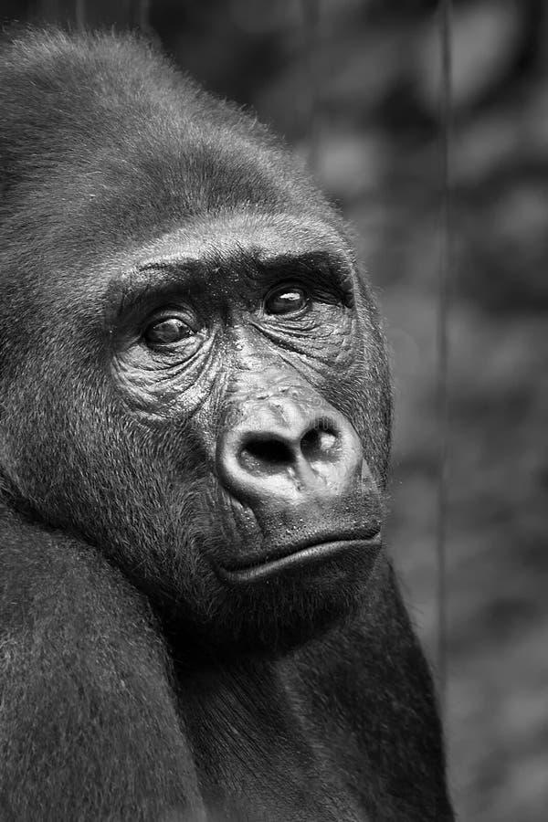 低地在黑白photographt的大猩猩大猩猩 免版税库存图片