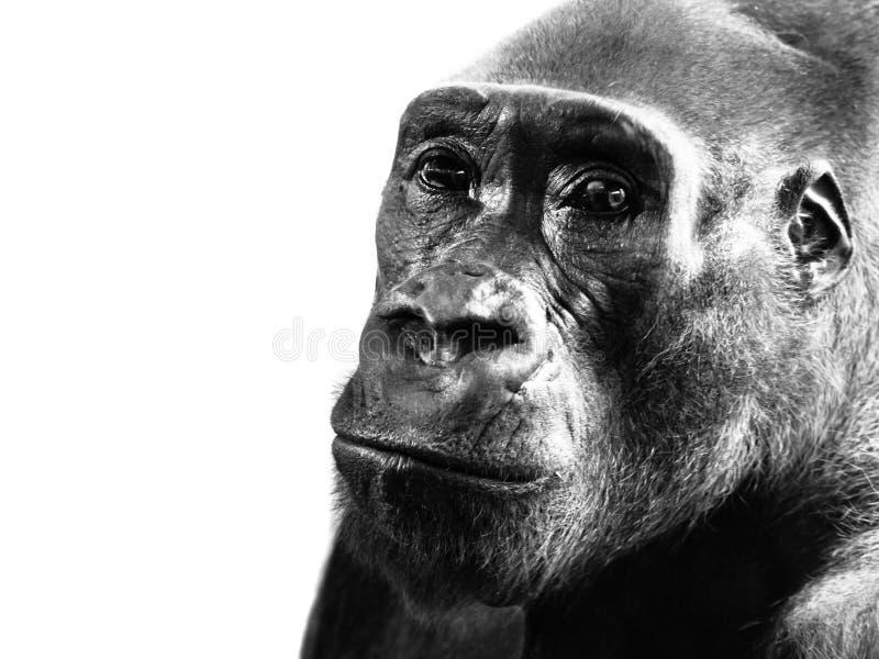 低地大猩猩,大猩猩大猩猩特写镜头外形,隔绝在白色背景 黑白图象 库存照片