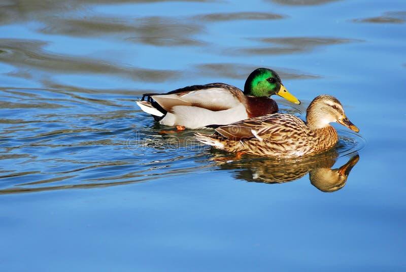 低头野鸭对 免版税库存照片