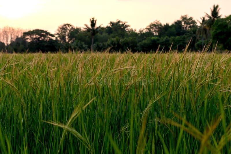 低看法开花在稻米的杂草 免版税库存照片