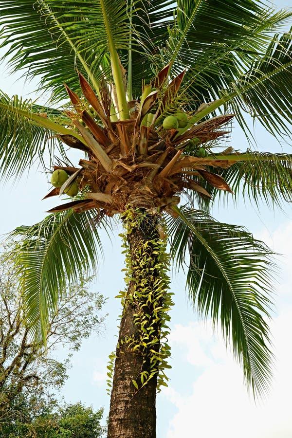 低角度垂直的照片反对浅兰的天空的一棵卓有成效的可可椰子树 图库摄影