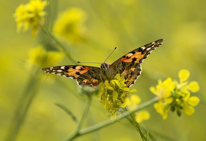 低角度的关闭绘了黄色芥末野花的Butterfly夫人 图库摄影