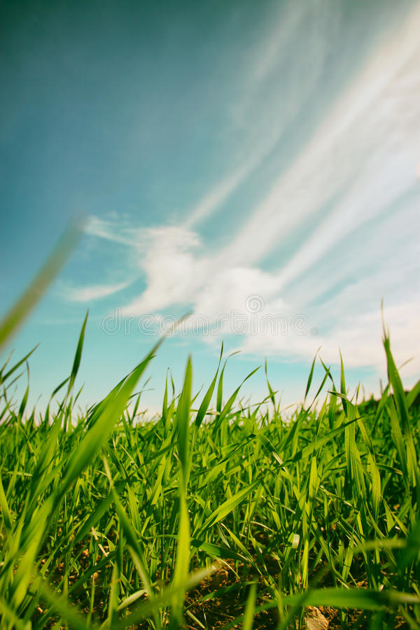 低角度观点的反对蓝天的新鲜的草与云彩 自由和更新概念 免版税图库摄影