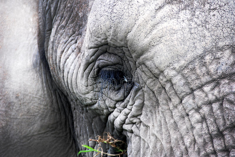 低谷大象的眼睛 免版税库存图片