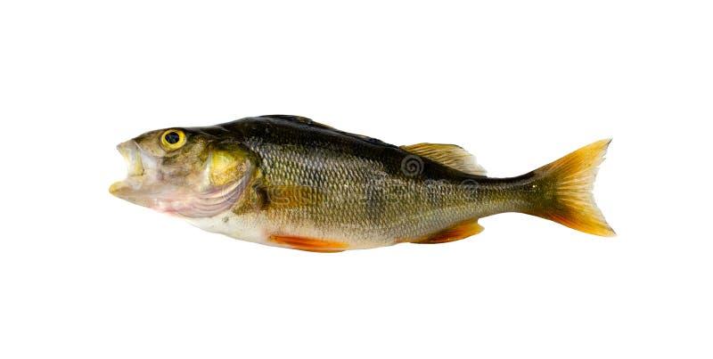 低音栖息处鱼在白色查出的捕鱼以后 库存照片