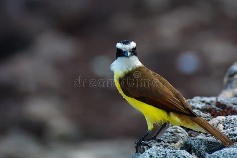 住在墨西哥的海边地区的鸟 图库摄影