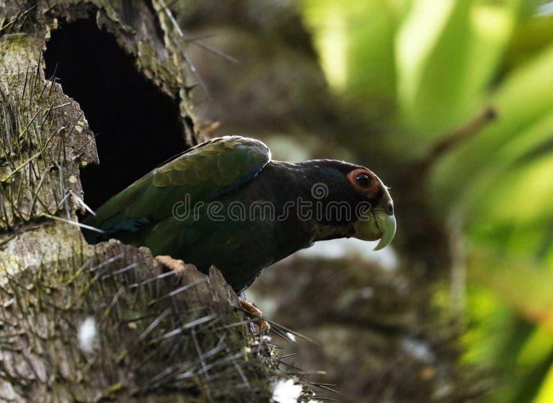 住在它的树上小屋的逗人喜爱的绿色鹦鹉在哥斯达黎加的密林 免版税库存照片