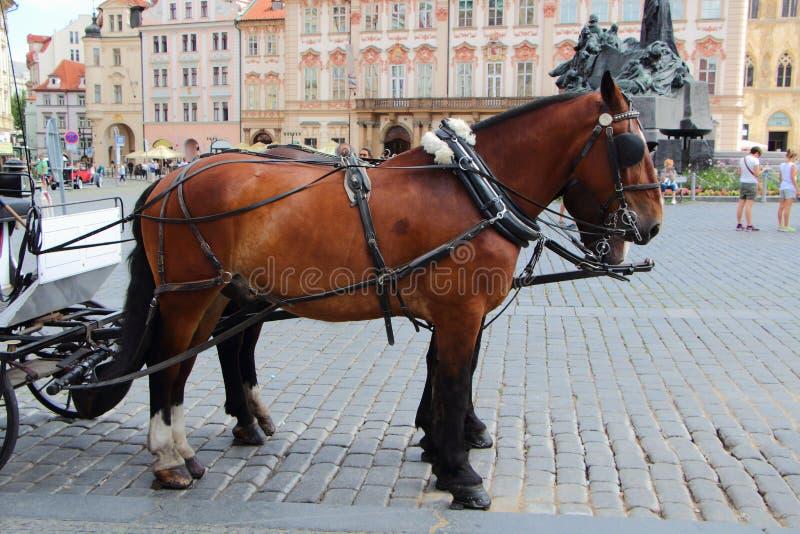拴住在布拉格的马 图库摄影