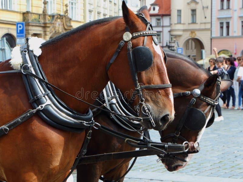 拴住在布拉格的马 免版税图库摄影