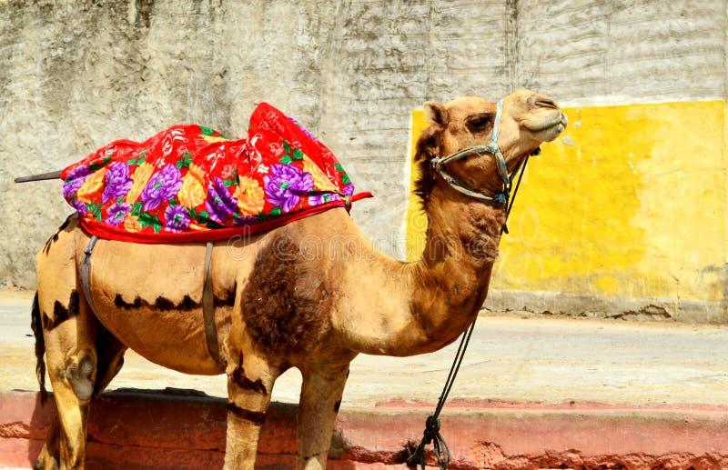 系住在斋浦尔拉贾斯坦印度街道的被紧固的骆驼  免版税库存图片