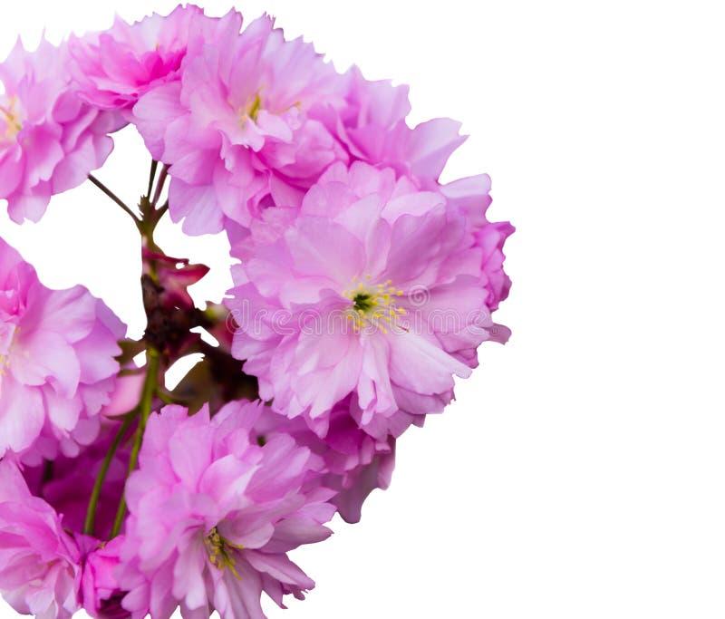 佐仓在白色背景隔绝的树花 图库摄影