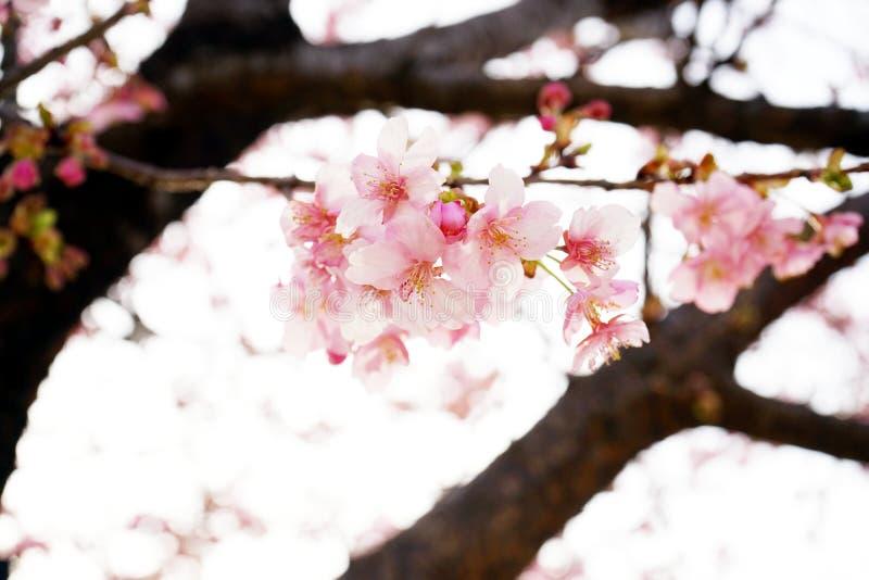 佐仓开花在日本 库存照片