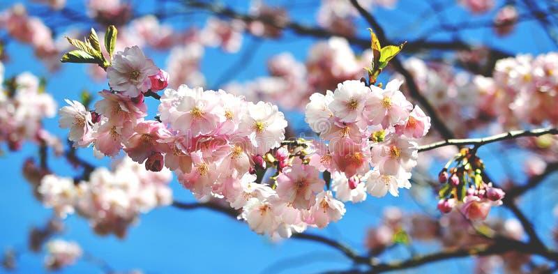 佐仓开花开花 日本樱桃树在庭院里 免版税库存照片