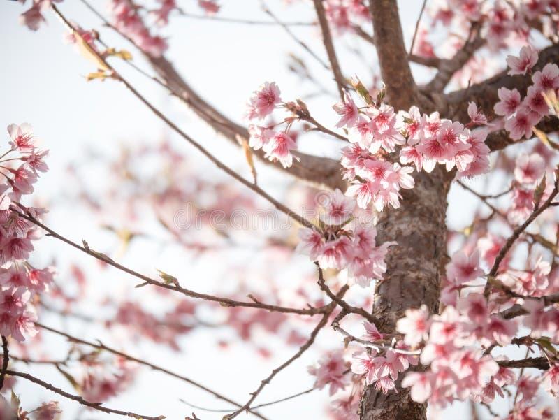 佐仓或开花在冬天季节的樱花树 库存图片