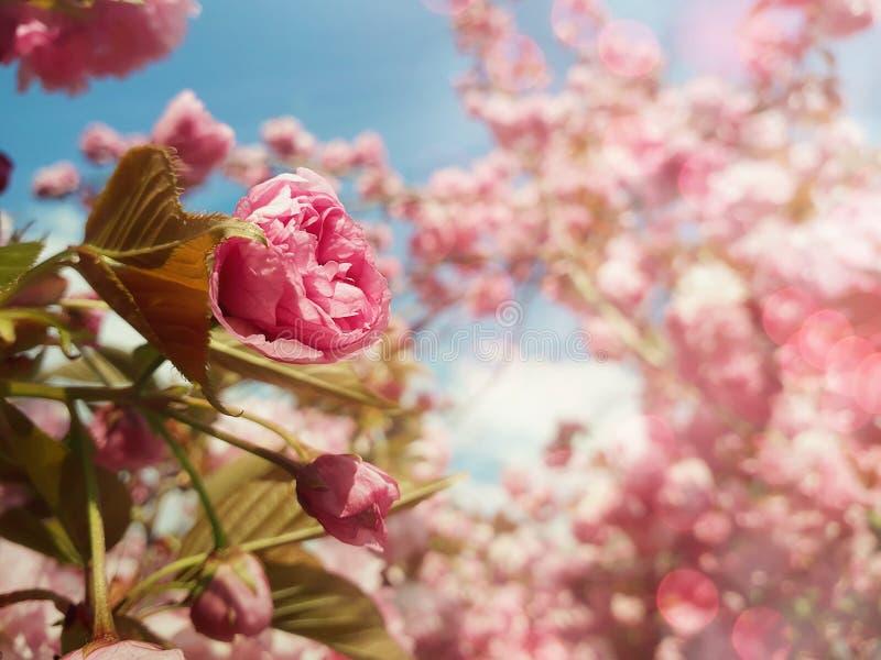 佐仓日本樱花盛开的关闭  开花狂放的桃红色开花的树的芽和绿色叶子生长 免版税库存照片
