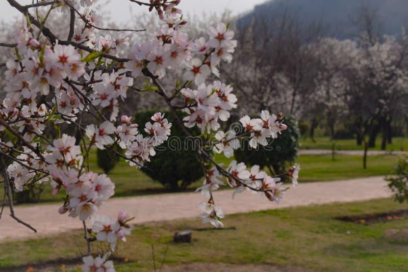 佐仓春天花 r 与开花的佐仓树的美好的自然场面在山和太阳火光 免版税库存图片
