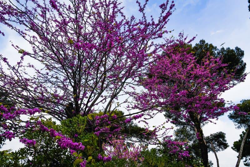 佐仓树在城市庭院里开花 与桃红色花的美丽的天空蔚蓝在樱桃树分支 库存图片