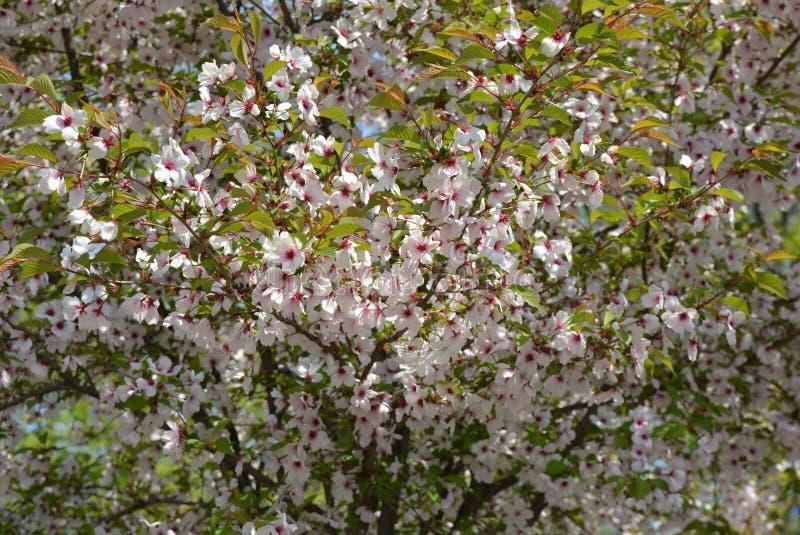 佐仓,杏子,与紫色和桃红色花,开花的桃子美丽的明亮的花  免版税库存照片