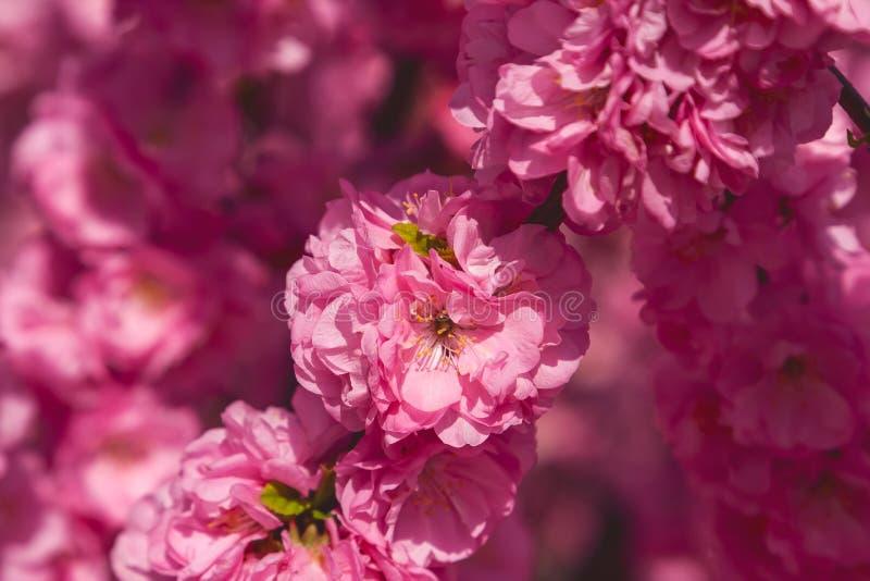 佐仓,樱花,与花的樱桃树 东方cherr 库存图片