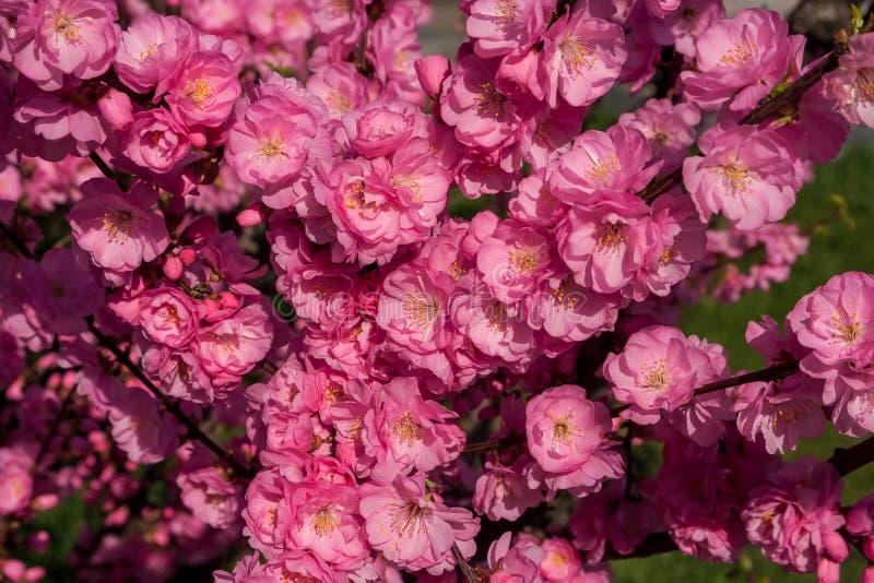 佐仓,樱花,与花的樱桃树 东方cherr 库存照片