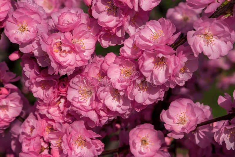 佐仓,樱花,与花的樱桃树 东方cherr 免版税库存图片