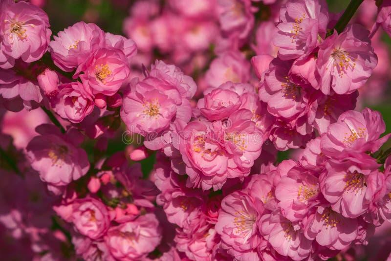 佐仓,樱花,与花的樱桃树 东方cherr 免版税库存照片