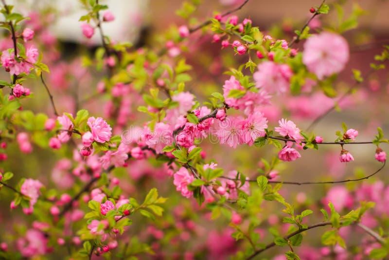 佐仓,美丽的樱花春天 接近的春天桃红色樱桃花背景 免版税图库摄影