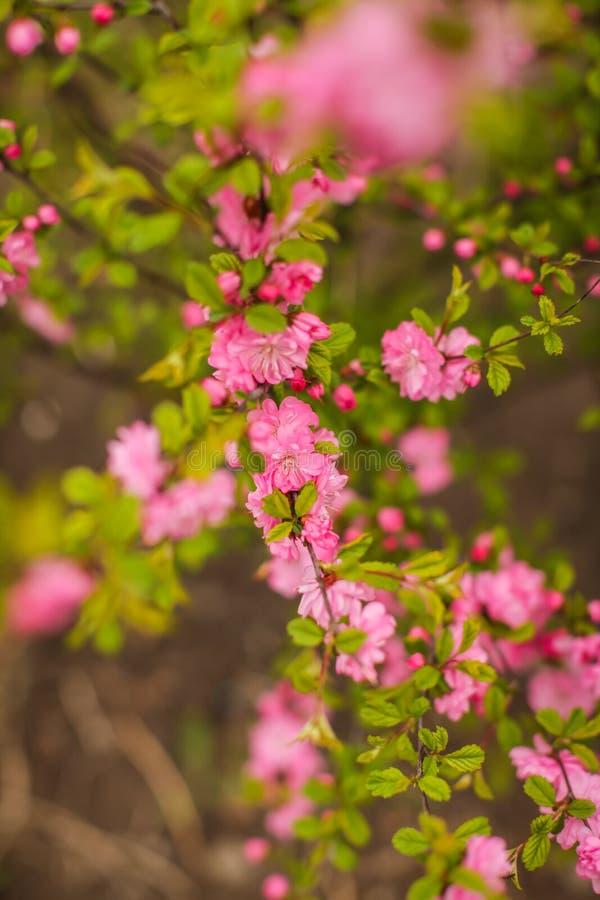 佐仓,美丽的樱花春天 接近的春天桃红色樱桃花背景 库存图片