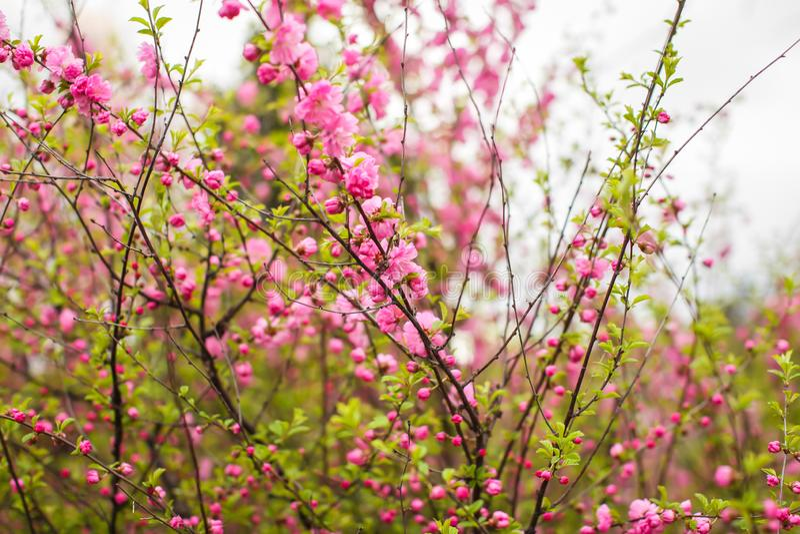 佐仓,美丽的樱花春天 接近的春天桃红色樱桃花背景 免版税库存图片