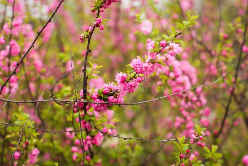 佐仓,美丽的樱花春天 接近的春天桃红色樱桃花背景 免版税库存照片