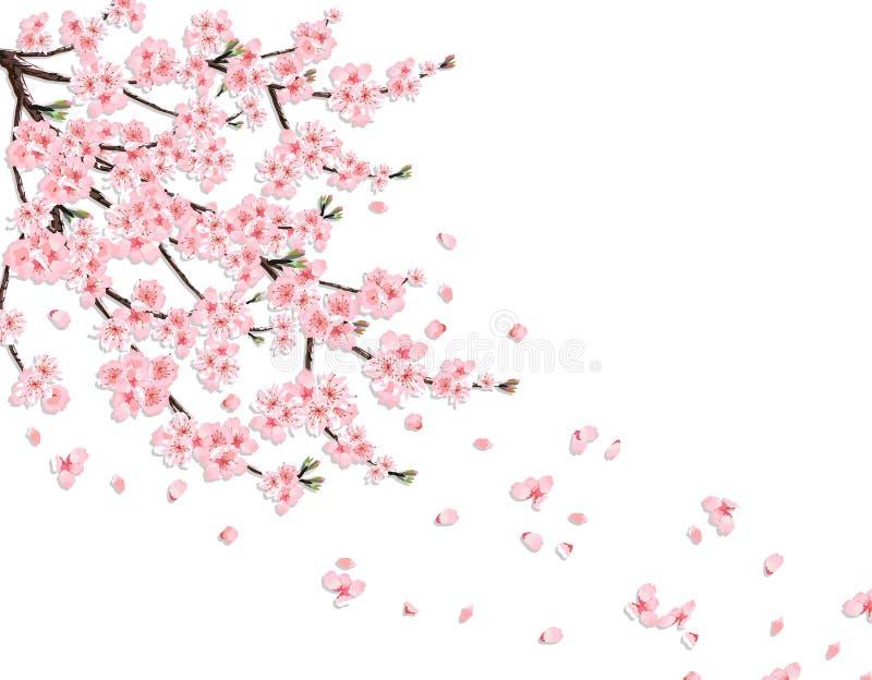 佐仓 与桃红色花的一个豪华的樱桃分支在风丢失瓣 查出在一个桃红色背景 例证 向量例证