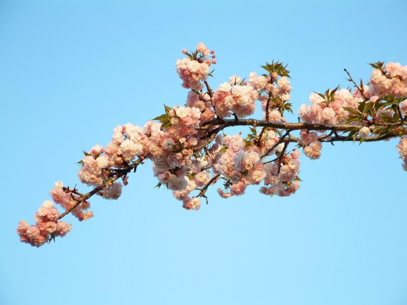 Download 佐仓 库存照片. 图片 包括有 开花, 樱桃, 绽放, 日本, 结构树, 女衬衫, 京都 - 54038