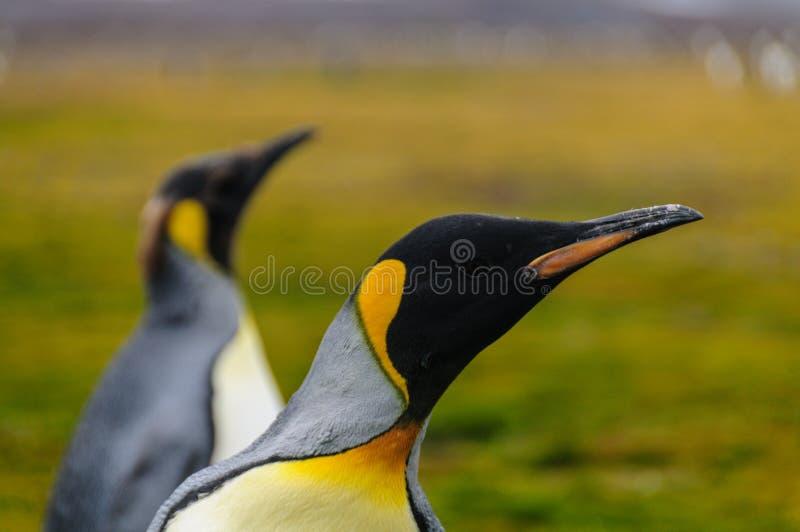 佐治亚南的企鹅国王 图库摄影